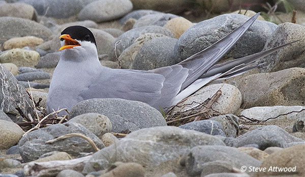 Black-fronted tern nesting