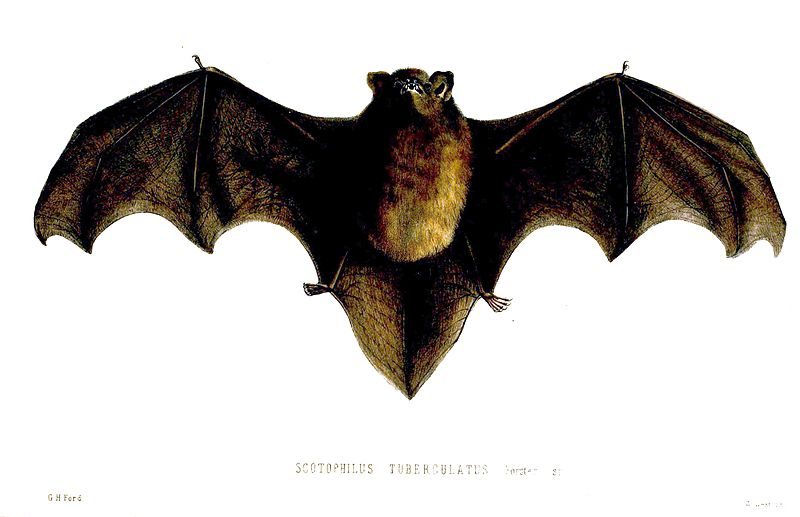 Long-tailed bat drawing: Proceedings of the Zoological Society of London, 1857