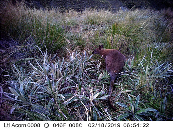 Bennett's wallaby, Forest Creek catchment; wallabies and feral pigs are considered the two most important invasive large animal species for immediate management in the upper Rangitata.