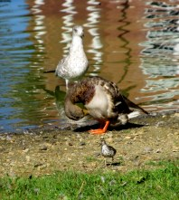 IMG_6867 Field of Honor Heron Duck Sandpiper Gull
