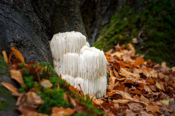 medicinal Mushrooms - lion's mane