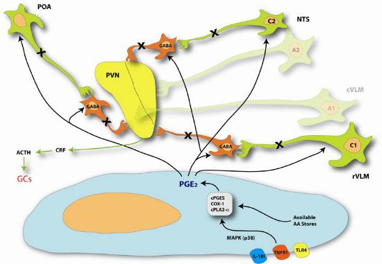 Brain Immune signaling figure 2 BrainImmune