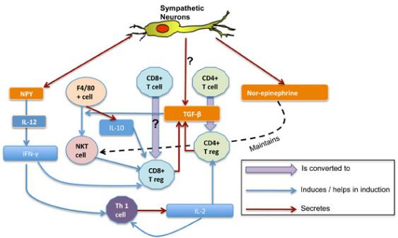 influence sympathetic nervous system fig 3