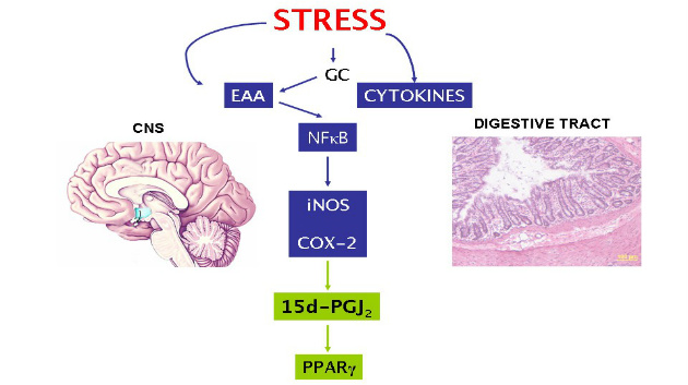 pro- and anti-inflammatory effects stress