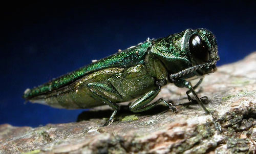 emerald-ash-borer-beetle