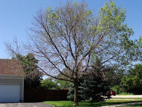 emerald-ash-borer-tree-2