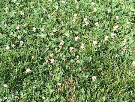 clover-in-lawn-2