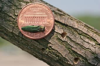 emerald-ash-borer-size