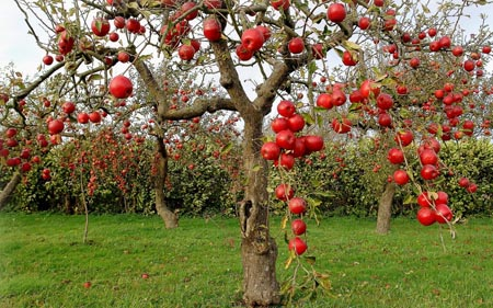 manzanas-apples-2