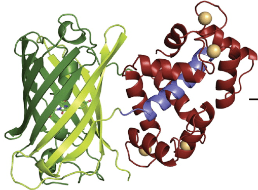 Crystal structure of GCaMP2