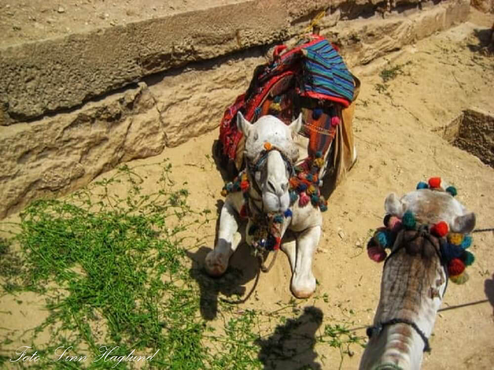 The camel I rode in Giza had dried blood down his neck