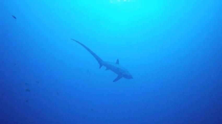 Thresher shark Philippines