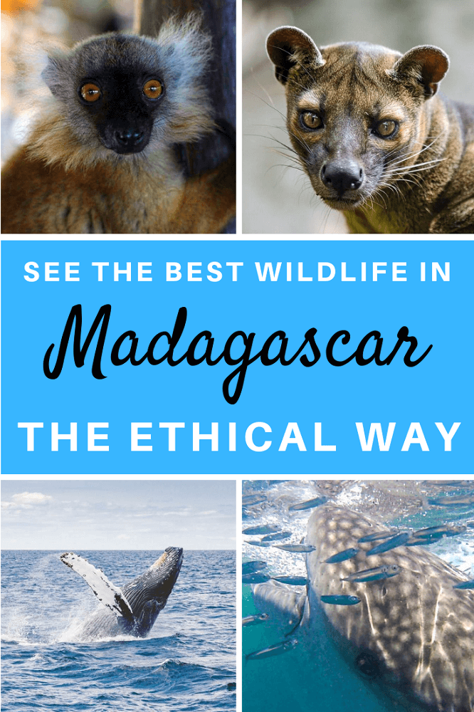 How to see the best wildlife in Madagascar in an ethical way. Responsible animal tourism is so important when you want to explore the animals of Madagascar. Find out where and how to explore lemurs, fossas, nesting sea turtles and more.