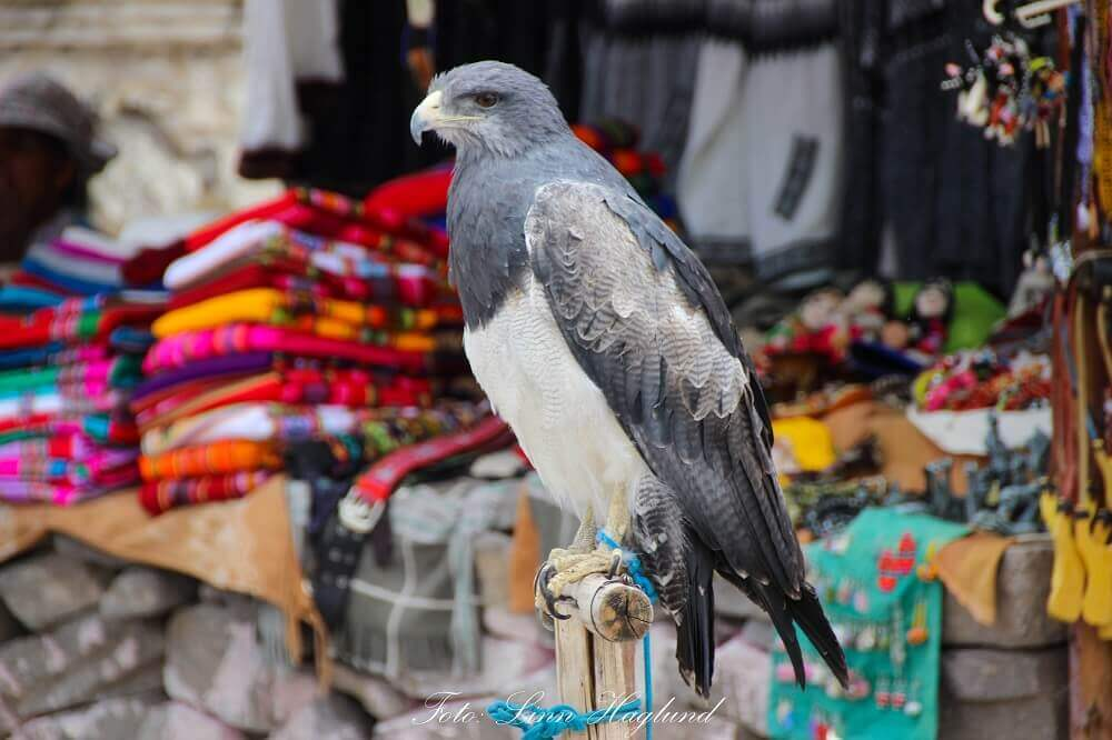 Bird chained in a shop in Peru