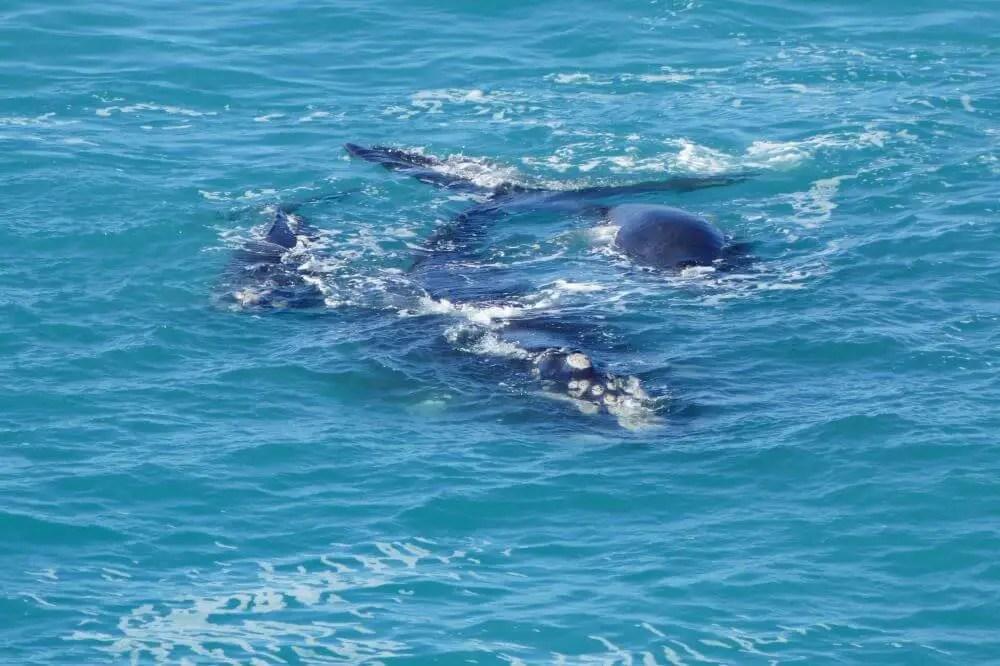 Whale watching Head of the Bight – Australia