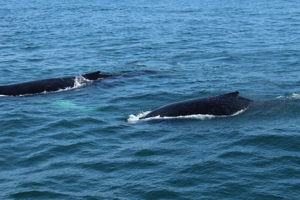 Whales at Cape Cod, USA