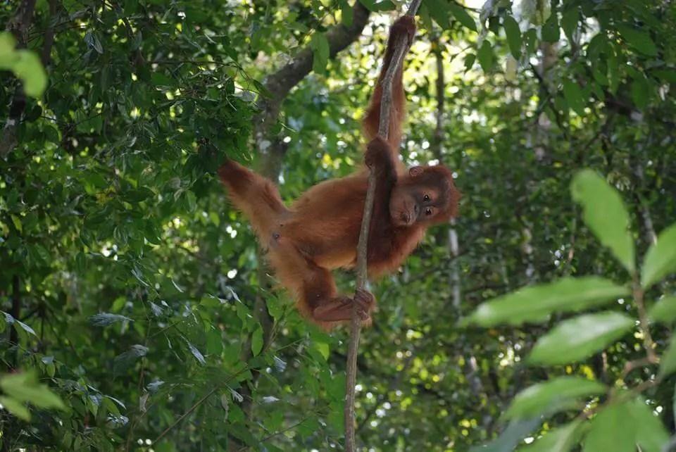 baby orangutan Sumatra