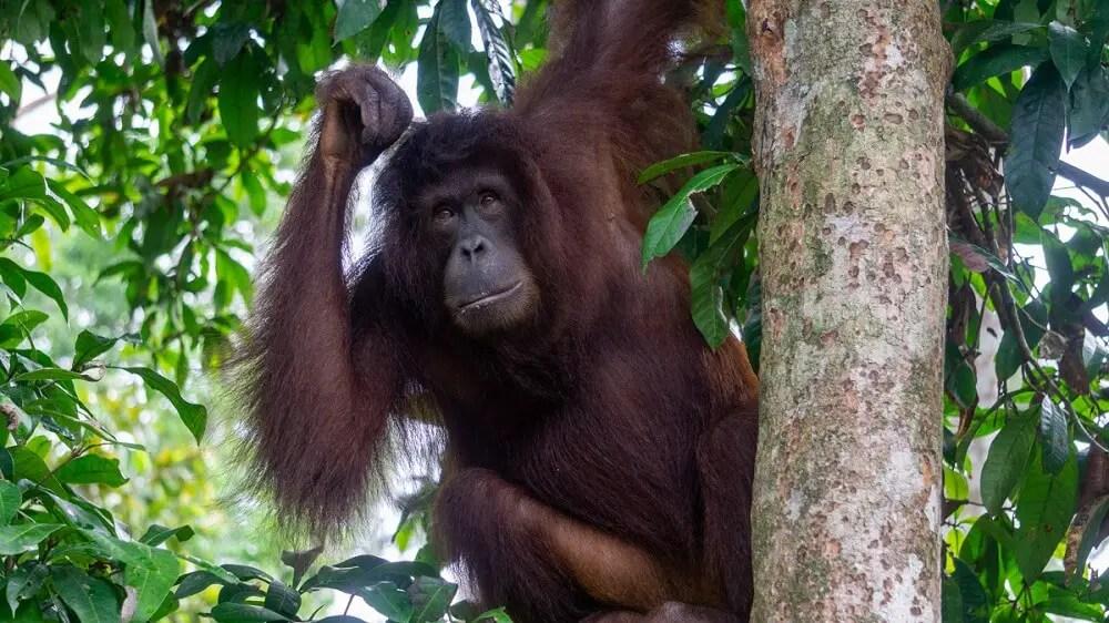 orangutan in borneo malaysia