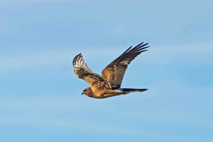 Northern Harrier flying at Summer Lake Wildlife Area