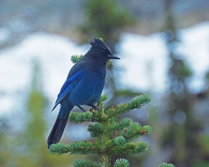 Close-up of a Steller's jay sitting in a fir tree at Blue Lake