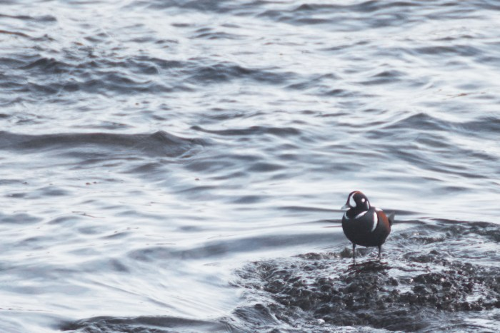 Harlequin duck standing at the edge of the water in Clallam Bay