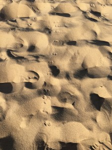 Long trail of the hind feet of kangaroo rat in dune sand