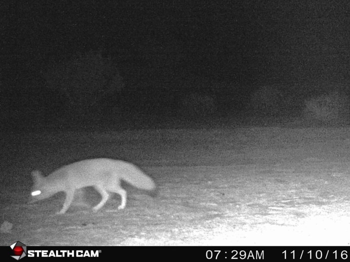 Kit fox with blond fluffy body, black tipped tail, tall ears, and glowing eyes on our nighttime camera