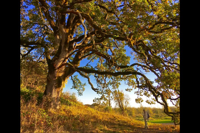 Michael standing under an old, sprawling oak in the glow of the late afternoon sun at the Carty Unit of Ridgefield NWR