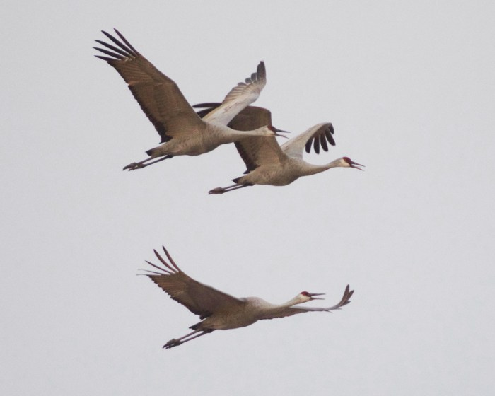 Three sandhill cranes up-close flying at Cibola