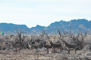 Burros standing among some dead (treated) tamarisk trees at Cibola