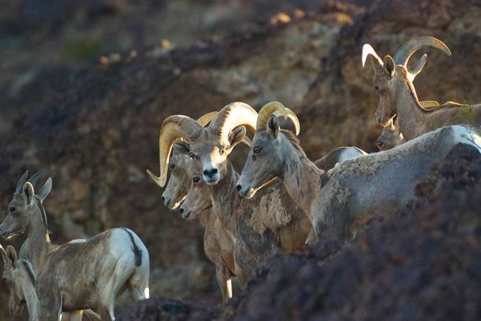 Close-up of desert bighorn rams