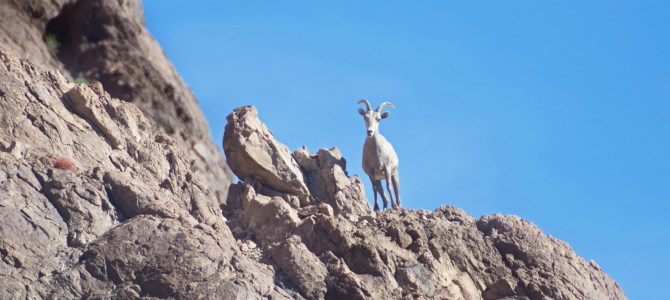 Bighorn Sheep at Kofa National Wildlife Refuge