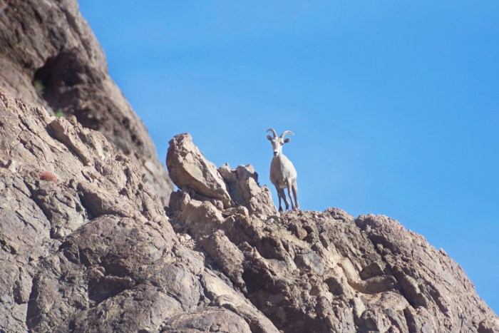 Bighorn ewe standing on top of a cliff peering down at us