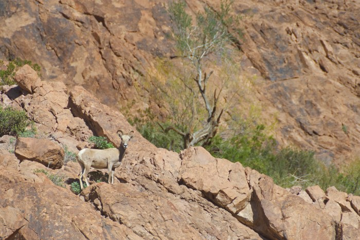Bighorn ewe standing on a lower rock staring at us
