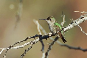 Female Costa's hummingbird sitting on a branch