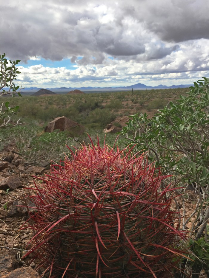 Barrel cactus with long red spines and the desert landscape in the distance at Kofa