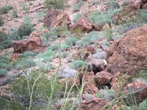 View through Michael's binoculars of one of the rams at Kofa NWR, Arizona