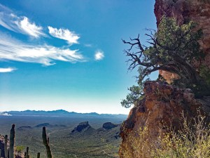 Juniper growing out of the side of a cliff near the top of Bull Pasture Trail looking out over the desert