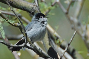 Black-tailed gnatcatcher perched on a mesquite branch in Alamo Canyon