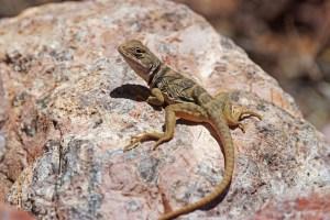 Sonoran collared lizard on a boulder in Alamo Canyon