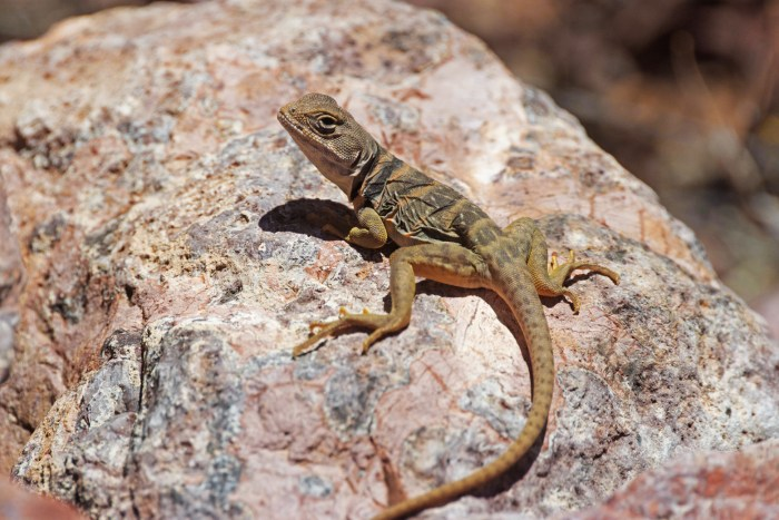 Sonoran collared lizard on a boulder in Alamo Canyon