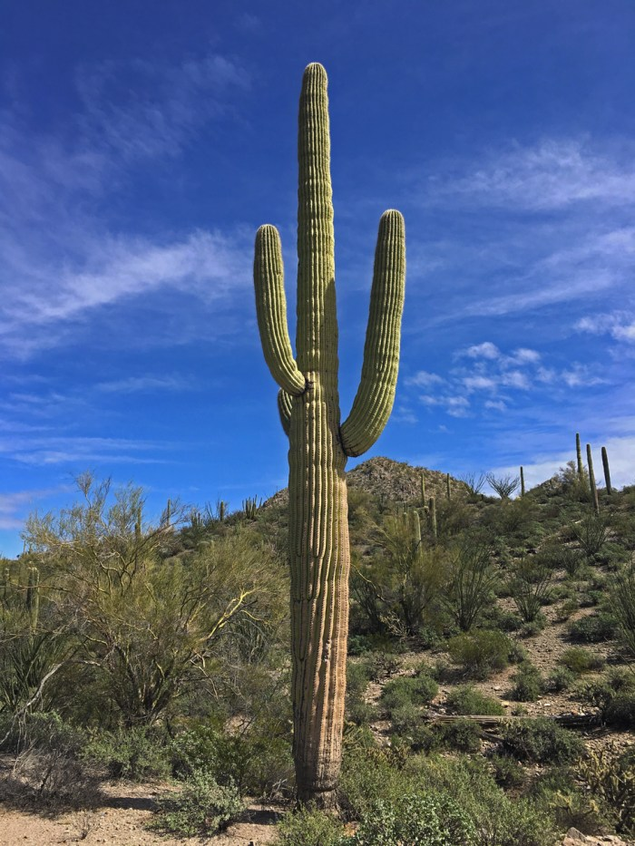 Saguaro cactus in the Senita Basin