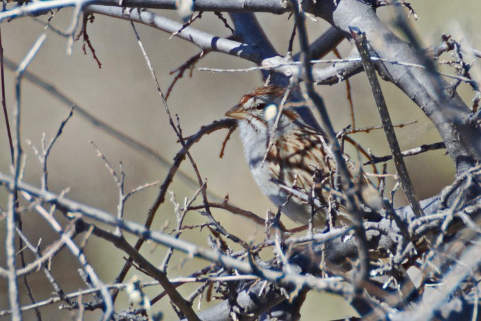 Rufous-winged sparrow hiding among some dead branches of mesquite