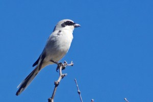 Loggerhead shrike, gray bird with a black mask, perched on a mesquite branch