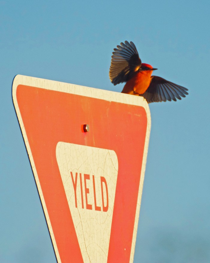 Vermillion flycatcher spreading its wings to take off from a yield sign