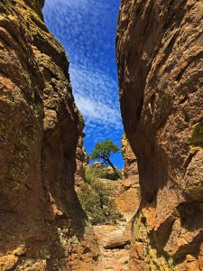 Peering between some of the pinnacles at a twisted juniper in the distance