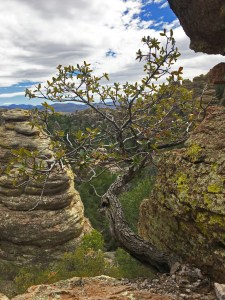 Twisted shrub growing from the rock between a couple of pinnacles
