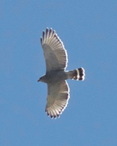 Gray hawk flying overhead against the blue sky