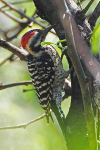 Ladder-backed woodpecker on the side of a tree trunk