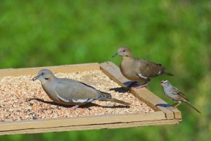 White-winged doves and a white-crowned sparrow on a feeder